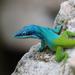 Abaniquillo de Cabeza Azul - Photo (c) Christopher Hampson, algunos derechos reservados (CC BY-NC)