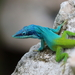 Allison's Anole - Photo (c) Christopher Hampson, some rights reserved (CC BY-NC)