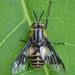 Chrysops divaricatus - Photo (c) Vladimir Bryukhov, algunos derechos reservados (CC BY-NC)