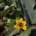Cucurbita foetidissima - Photo (c) Daniel Donovan, μερικά δικαιώματα διατηρούνται (CC BY-NC)