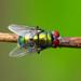 Chrysomya albiceps - Photo (c) Emanuele Santarelli, μερικά δικαιώματα διατηρούνται (CC BY-SA)