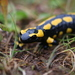 Fire Salamander - Photo (c) Thorsten Usée, some rights reserved (CC BY-NC)