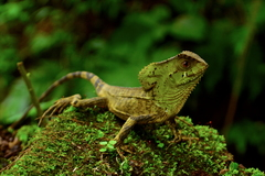Guatemalan Helmeted Basilisk - Photo (c) Daniel Pineda Vera, some rights reserved (CC BY)