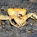 Geothelphusa albogilva - Photo (c) Liu JimFood, osa oikeuksista pidätetään (CC BY-NC)