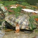 Red-eared Slider - Photo (c) mlhradio, some rights reserved (CC BY-NC)