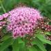 Japanese Spiraea - Photo (c) beautifulcataya, some rights reserved (CC BY-NC-ND)
