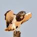 Águias-Cobreiras - Photo (c) Ian White, alguns direitos reservados (CC BY-ND)