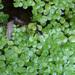 Callitriche stagnalis - Photo Javier martin, sin restricciones conocidas de derechos (dominio público)