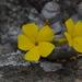 Pachypodium brevicaule - Photo (c) Ari Rice, osa oikeuksista pidätetään (CC BY-NC)