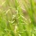 סיסנית הביצות - Photo (c) James K. Lindsey,  זכויות יוצרים חלקיות (CC BY-SA)