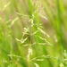Rough Meadow-Grass - Photo (c) James K. Lindsey, some rights reserved (CC BY-SA)