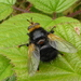 Yellow-faced Fly - Photo (c) Sally Hutt, some rights reserved (CC BY-NC)