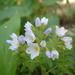 Polemonium pulcherrimum delicatum - Photo (c) Jesse Varner, algunos derechos reservados (CC BY-NC-SA)
