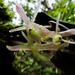 Epidendrum jajense - Photo (c) Nicolás Rozo, algunos derechos reservados (CC BY-NC)