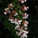Abelia × grandiflora - Photo (c) Tatiana Gerus, algunos derechos reservados (CC BY)