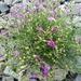 Dodartia orientalis - Photo (c) ruslan, some rights reserved (CC BY-NC)