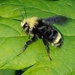 Yellow-faced Bumble Bee - Photo (c) Eric Running, some rights reserved (CC BY-NC)