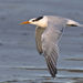 Crested Terns - Photo (c) Mike Baird, some rights reserved (CC BY)