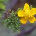Hypericum laricifolium - Photo (c) osoandino, osa oikeuksista pidätetään (CC BY-NC)