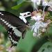 Papilio liomedon - Photo (c) Rohit Girotra, algunos derechos reservados (CC BY-NC)