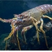 Spiny Lobsters - Photo (c) to.wi, some rights reserved (CC BY-NC-SA)