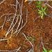Sphagnum fuscum - Photo (c) Andrew Simon, algunos derechos reservados (CC BY-NC)