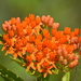 Butterfly Milkweed - Photo (c) lvconrad1977, some rights reserved (CC BY-NC)