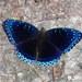 Stibochiona nicea - Photo (c) John Pavelka, algunos derechos reservados (CC BY)