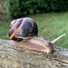 Turkish Snail - Photo (c) bjerrum, some rights reserved (CC BY-NC)