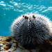 Erizo de Mar Blanco - Photo (c) Jonh Arias, algunos derechos reservados (CC BY-NC)