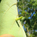Craneiobia tuba - Photo (c) Rob Curtis, alguns direitos reservados (CC BY-NC-SA)