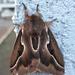 Dirphia araucariae - Photo (c) Edson Gasperin, some rights reserved (CC BY-NC)