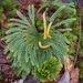 Dendrolycopodium obscurum - Photo (c) Sara Rall, algunos derechos reservados (CC BY-NC)