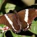 Mariposa Paje Brasileña - Photo (c) leithallb, algunos derechos reservados (CC BY-NC)