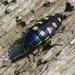Buprestis octoguttata - Photo (c) Christian Fischer, algunos derechos reservados (CC BY-SA)