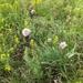 Allium senescens - Photo (c) Сергей, osa oikeuksista pidätetään (CC BY-NC)
