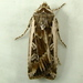 Army Cutworm Moth - Photo (c) Dick, some rights reserved (CC BY-NC-SA)