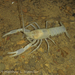 Southern Cave Crayfish - Photo (c) Matthew L. Niemiller, some rights reserved (CC BY-NC)