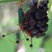 Compsocerus violaceus - Photo (c) Lucas Ezequiel Rubio,  זכויות יוצרים חלקיות (CC BY)