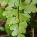 Maidenhair-Fern - Photo (c) butterball1, some rights reserved (CC BY-NC)