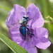 Aztec Cuckoo-Orchid Bee - Photo (c) Carlos Velazco, some rights reserved (CC BY-NC), uploaded by Carlos G Velazco-Macias