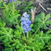 Sandy Land Bluebonnet - Photo (c) texasgirl27, some rights reserved (CC BY-NC)