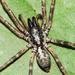 Megalostrata - Photo (c) Cheryl Harleston López Espino, algunos derechos reservados (CC BY-NC-ND)