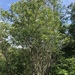 False Mountain Willow - Photo (c) Samuel Brinker, some rights reserved (CC BY-NC)
