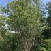 Salix pseudomonticola - Photo (c) Samuel Brinker, algunos derechos reservados (CC BY-NC)
