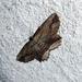 Menophra - Photo (c) gailhampshire, algunos derechos reservados (CC BY)