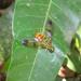Chrysochlorina currani - Photo (c) Rob Westerduijn, μερικά δικαιώματα διατηρούνται (CC BY-NC)