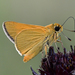 Eastern Arogos Skipper - Photo (c) Edward Perry IV, some rights reserved (CC BY-NC)