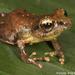 Pristimantis ridens - Photo (c) Todd Pierson,  זכויות יוצרים חלקיות (CC BY-NC-SA)