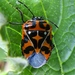 Harlequin Bug - Photo (c) kevinemetcalf, some rights reserved (CC BY-NC)